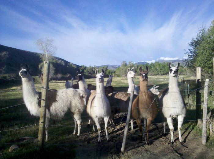 Greeting Llamas